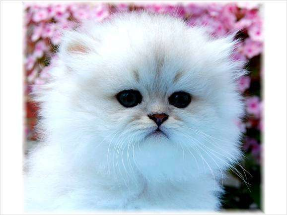 Teacup Persian Kittens For Sale 600 FOR SALE ADOPTION from