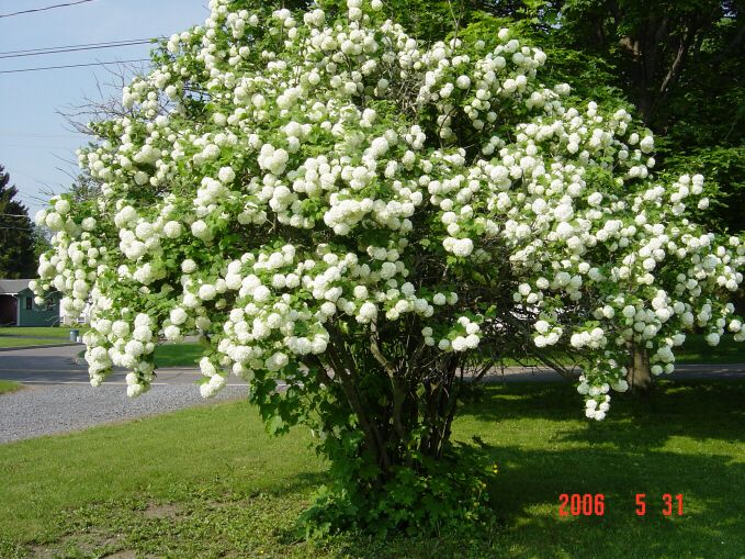 Landscape Bushes With Odor : Fragrant snowball viburnum cayuga