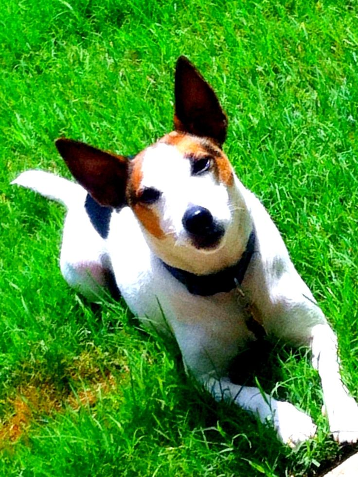 My Hazard! <3 Jack Russell Terrier/Smooth Fox Terrier mix.