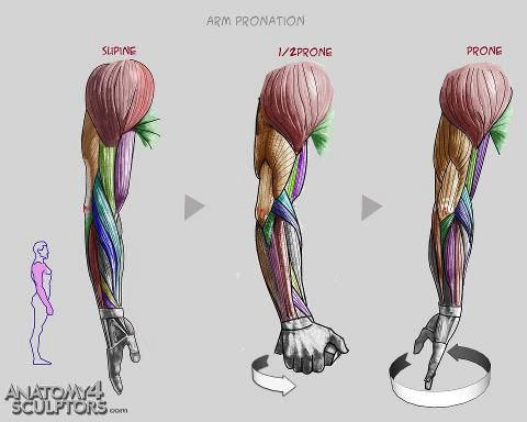 62 best anatomy arm images on pinterest | anatomy reference, Muscles