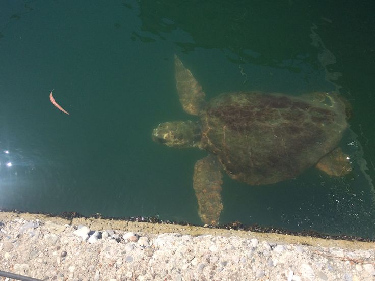 Majestic turtles glide through the water around the boats in the Fethiye harbour.