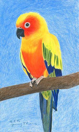 Sonnensittich, Tierportrait mit Farbstiften gezeichnet