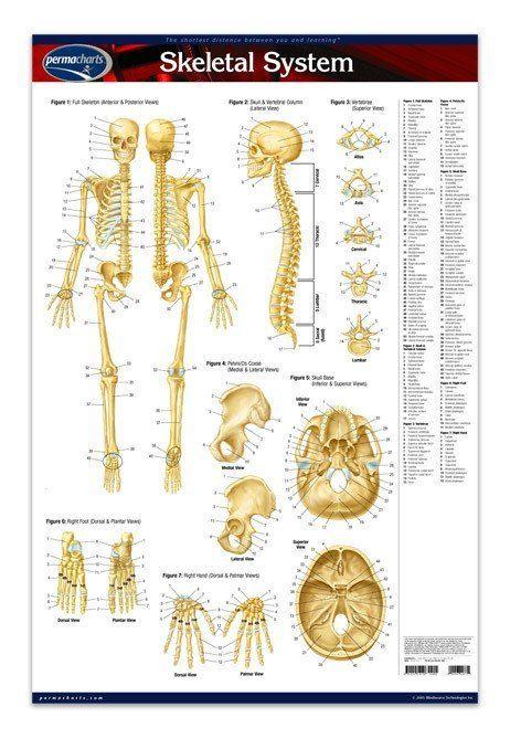 Best 25+ Skeletal system worksheet ideas on Pinterest