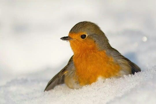 Robin in the snow ! #robin #snow
