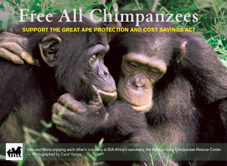 The Great Ape Protection and Cost Savings Act is a historic bill that would end experimentation on great apes in the U.S. and retire all the government's chimpanzees to sanctuaries.    We'll gladly send you cards to hand out or leave in the pamphlet section of your favorite public place or animal-friendly business. Since this is a U.S. bill, we can only send cards to U.S. addresses. Send requests to literature@idausa.org, and please specify how many cards you would like.