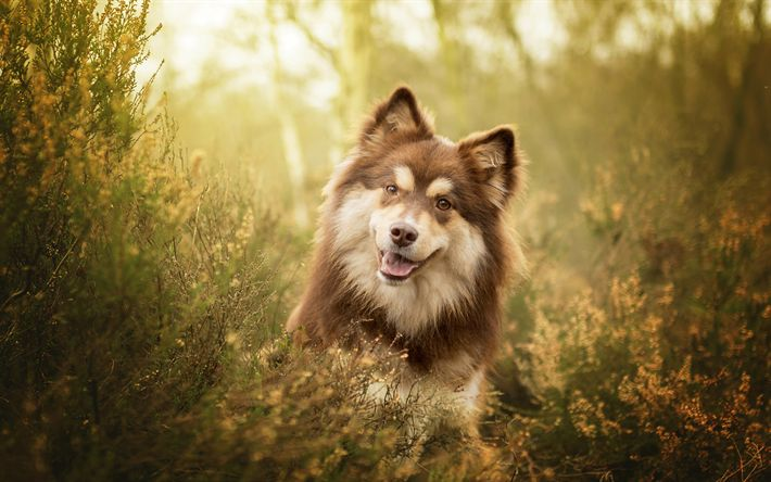 Download wallpapers Finnish Lapphund, Spitz, brown furry dog, pets, grass