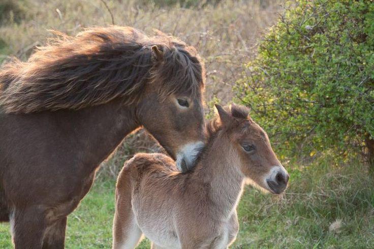 wilde paarden (exmoor pony)