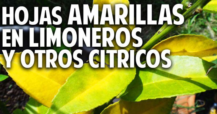 Cosas del Jardin: Hojas amarillas en las plantas Limoneros y Naranjos - Fertilización y Hongos