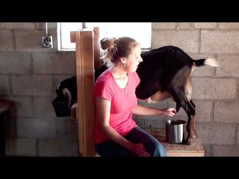How to milk a goat  Go ahead, laugh that Im pinning this but some day it will be relevant!