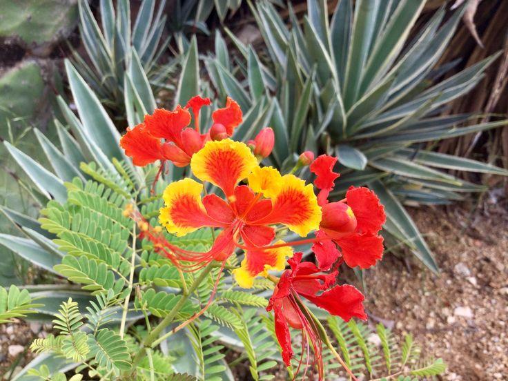 Aruba's Tuturutu flowers