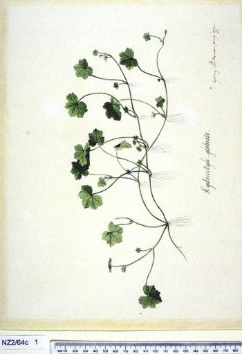 Hydrocotyle Americana - - New Zealand  -  artist Sydney Parkinson, Curtis's bot. Mag. 49: t. 2350 [1822].  The Endeavour botanical illustrations -