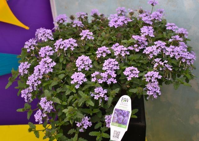 Superbena Royale Silverdust (avail 2013): Avail 2013, Royale Silverdust, Host Plants, Pretty Petals, Silverdust Avail, Plant Selection, Outdoor Decorating Plants