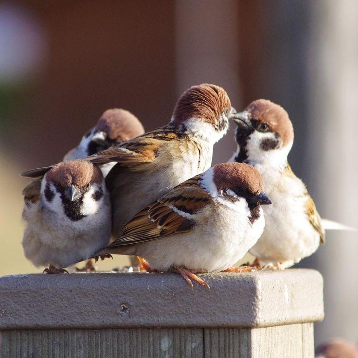 """""""今日も楽しそうなスズメワールドでした。 #雀#スズメ#すずめ#sparrow"""""""