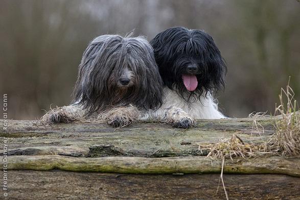 Dutch Sheepdogs.