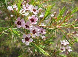 Wachsblume (Chamelaucium uncinatum): Pflege & Vermehrung - Majas Pflanzenwelt