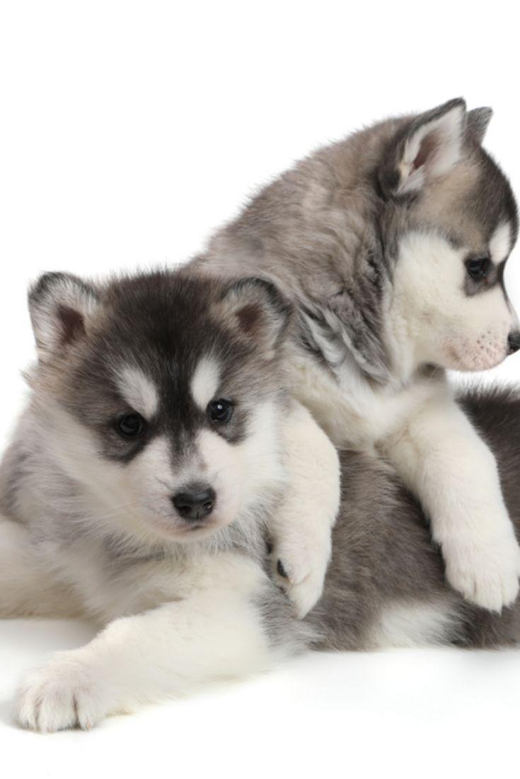 Cute Puppies Siberian Husky Black And White Siberianhusky Cute Puppies Siberian Husky Black And White Siberianhusk Siberian Husky Husky Black Siberian Husky