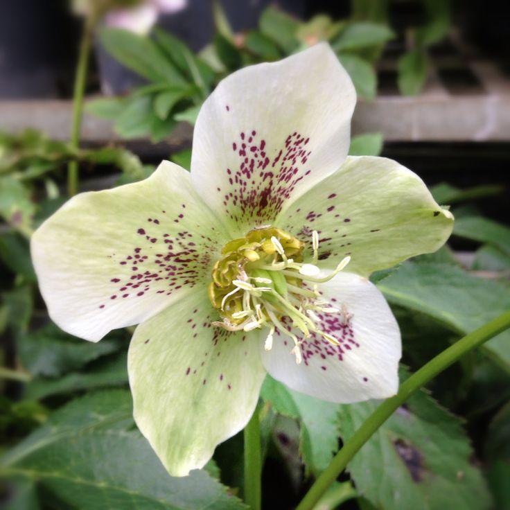 """IL SIGNIFICATO DEI #FIORI #ELLEBORO Appartiene alla famiglia delle ranuncolacee e vive in Europa meridionale e in Asia occidentale. La specie più nota è l'elleboro nero, detto anche """"rosa di natale"""". Il fiore rappresenta la pazzia."""