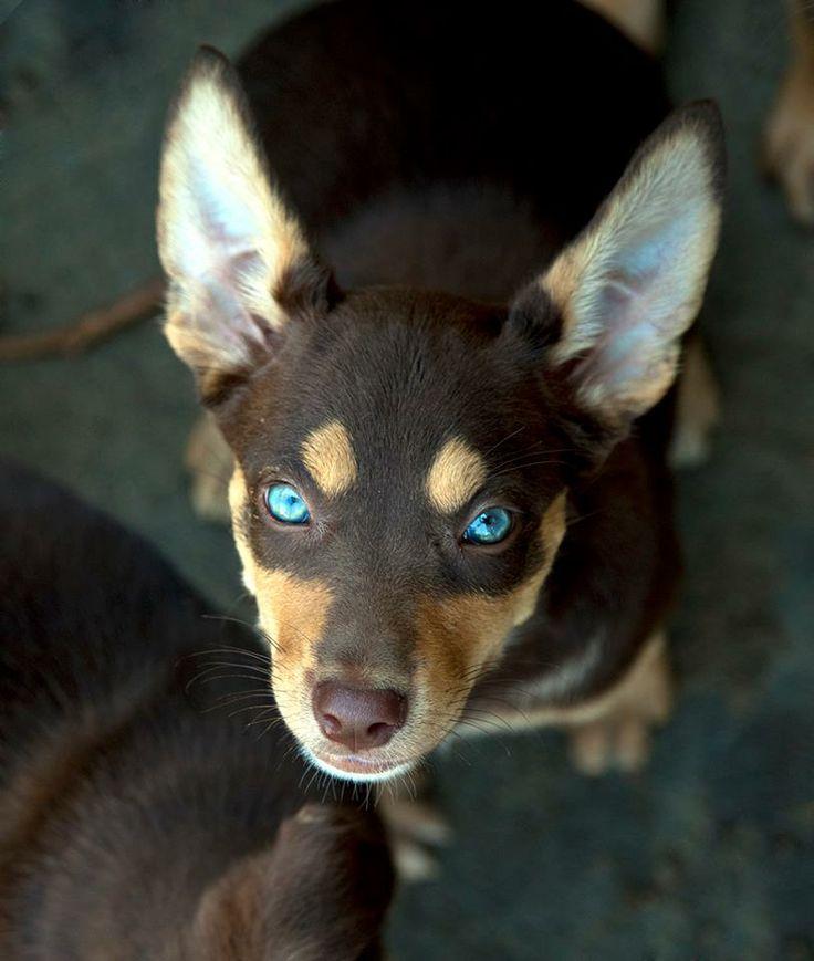 Kelpie pup from Australian Working Dog Rescue