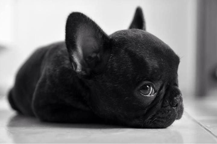 Baby French Bulldog Puppies Black