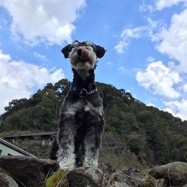 ✱ ✱ 今日は法事で愛媛のおばあちゃん宅に行きました。ナルも一緒に♡ ✱ この日の為にクレートトレーニングして、おばあちゃん家でもクレートの中で落ち着いて過ごしてくれてました( *ˊᵕˋ) ✱ 法事が終わると思いっきり畑を走り回って楽しそうにしてました☆ ✱ ✱✱ #dog #dogstagram #west_dog_japan #instadog #miniatureschnauzer #schnauzer #schnauzerworld  #ミニチュアシュナウザー #シュナウザー #ミニシュナ#シュナ #シュナスタグラム #犬のいる暮らし #愛犬 #髭犬 #ふわもこ部