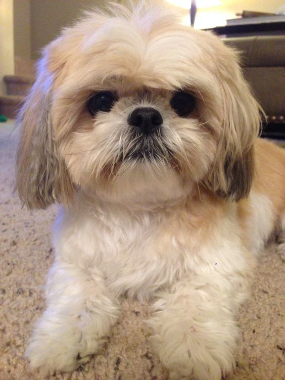 10 Shih Tzu Dog Names with Their Meaning