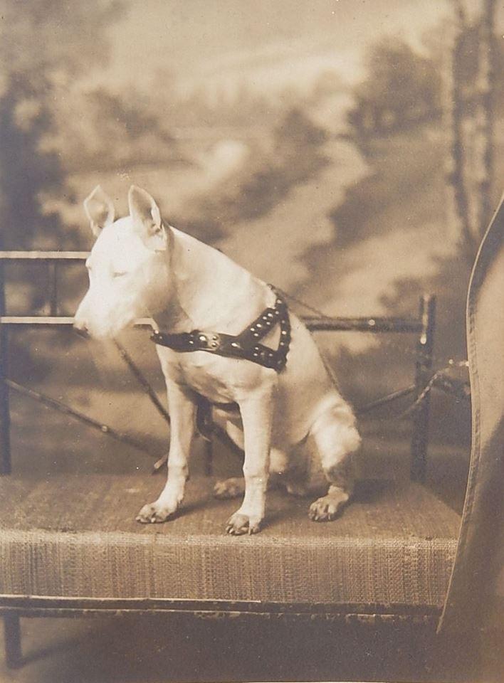 Bull Terrier 1905 colección C.H.