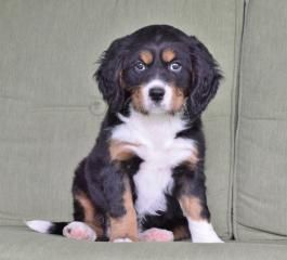Bernese Mountain Dog Mini Puppies for Sale   Lancaster Puppies
