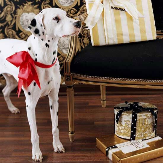 Originally from Croatia, dalmatians were once trained to run alongside horse-drawn carriages, making a clear path for the horses to pass. Because they remain an active breed, dalmatians require a lot of exercise and make