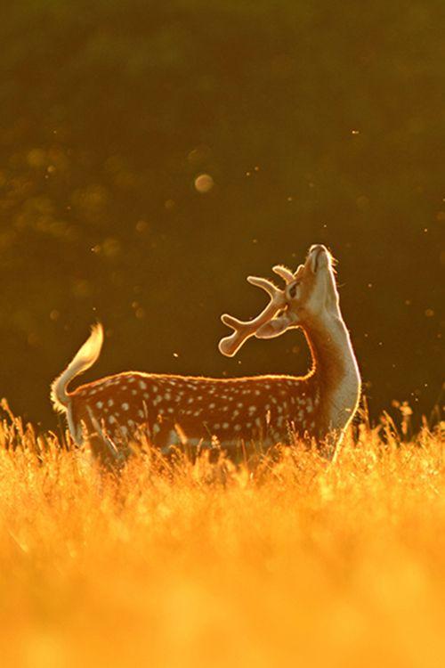 """Golden Deer """"Fly Dance"""" by Simon Roy"""