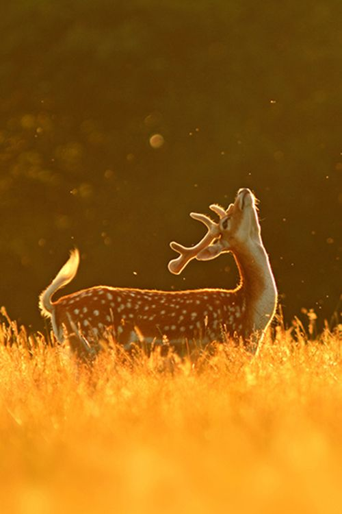 """♂ Wildlife photography Golden Deer """"Fly Dance"""" by Simon Roy"""