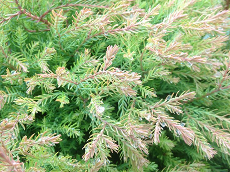 17 Best Images About Arborvitae On Pinterest