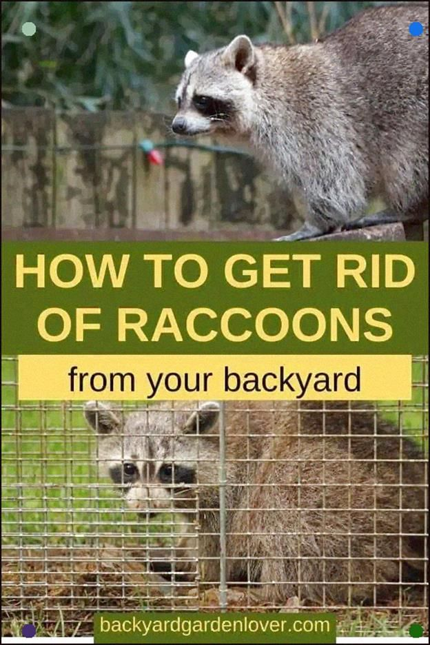 4c9e56171c9643ac9415a2805082f817 - How To Get Rid Of Raccoons Pooping On Your Deck