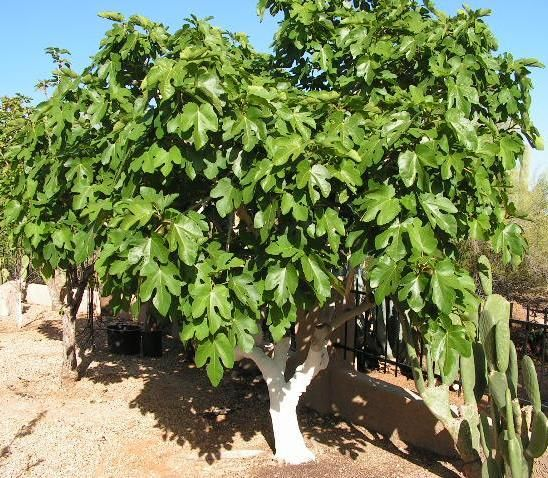 Arizona Black Mission Fig Tree