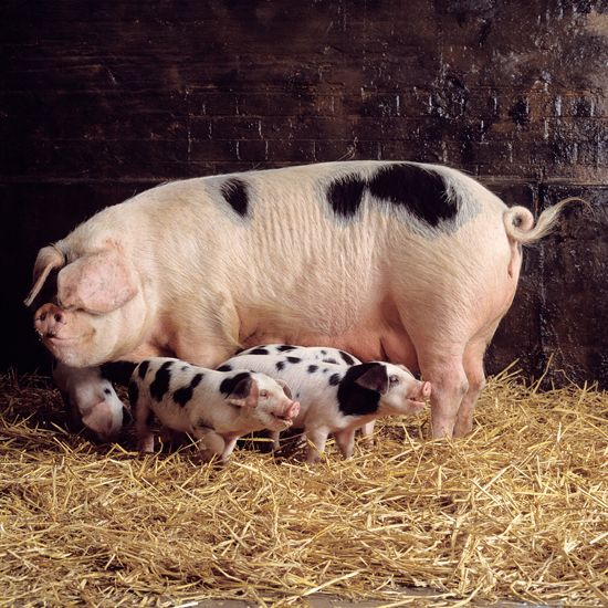 """""""Heritage Livestock Breeds: Why They're Important"""" Traditional animal breeds benefit both homesteaders and consumers with their hardiness, adaptability, flavorful meat and genetic diversity. From MOTHER EARTH NEWS Magazine"""