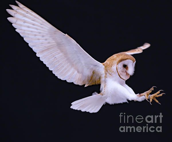 Animal Bird Barn Owl In Flight With Talons Out By Cj Park Barn Owl Bird Barn Owl
