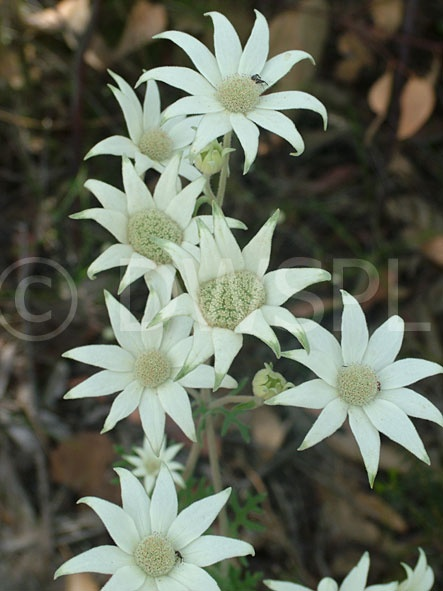 Flannel Flower - the main flowers in my wedding 'bouquet'!