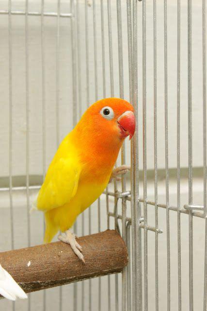 Watta aves !: LoveBirds Fischer