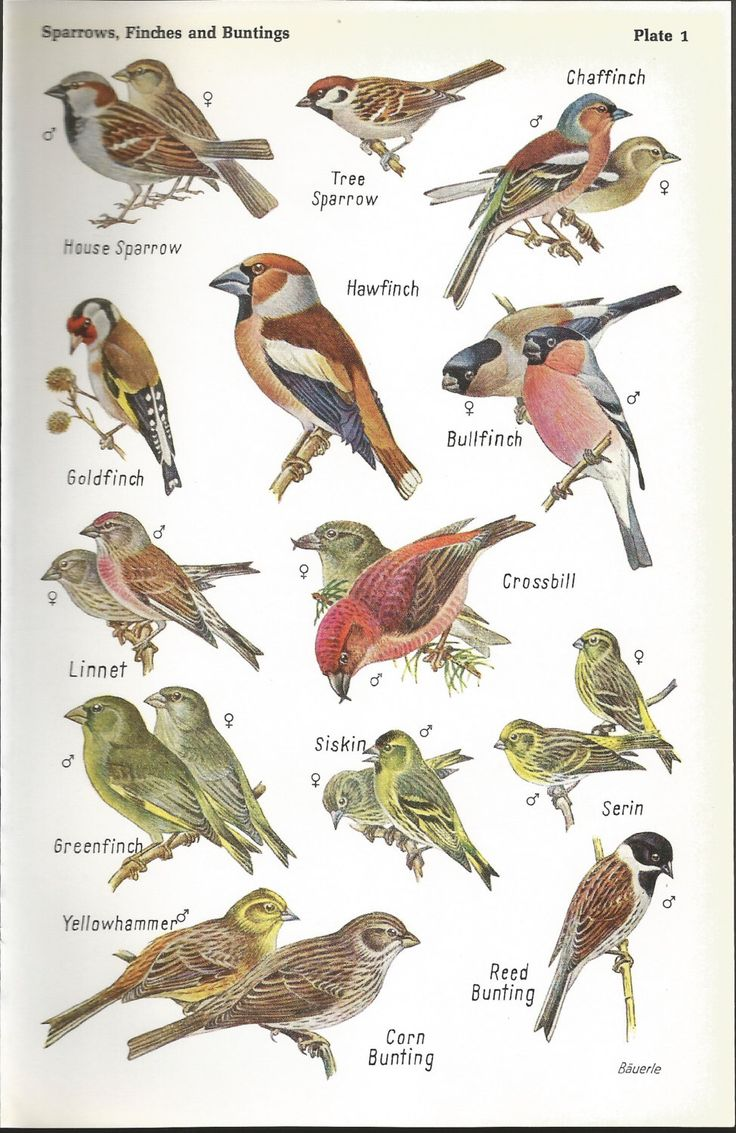1968 SPARROWS, FINCHES & BUNTINGS bird print, colour, original, vintage by NinskaPrints on Etsy https://www.etsy.com/uk/listing/257998003/1968-sparrows-finches-buntings-bird