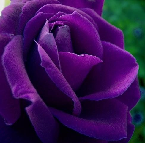 20 Purple Rare Rose Seeds Fresh Exotic Flower