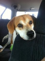 Isaac is an adoptable Beagle Dog in Fayetteville, AR. This is Isaac! He is a young Beagle mix who was rescued from the Gurdon, AR shelter. He had a broken right back leg which has healed itself (incor...