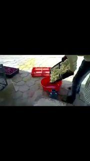 Saksikan Kejamnya Manusia Terhadap Anak Ayam - Animal Cruelty / Viral Video…