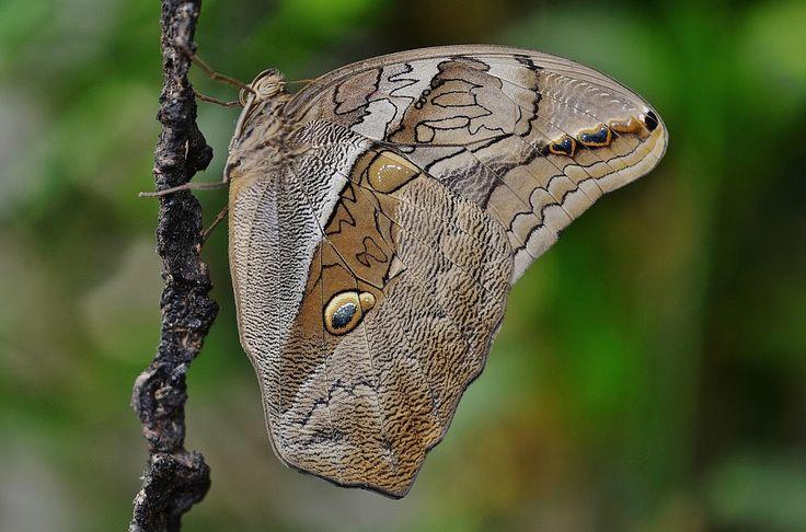 Πεταλούδα, Ζώο, Έντομο, Άγρια Ζώα, Fly, Macro, Φτερά
