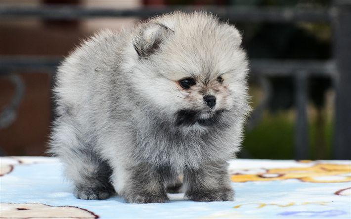 Download wallpapers Zvergspitz, 4k, spitz, gray pomeranian, dogs, pomeranian, funny animals, cute animals