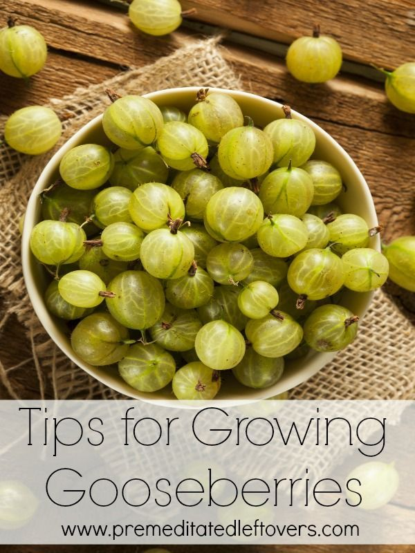 Tips for Growing Gooseberries, including how to plant gooseberries, how to grow…