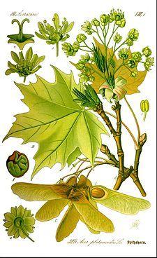 Acer platanoides - lönn