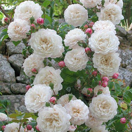 'Félicité et Perpétue' est un rosier liane au charme fou. Il porte de très jolies petites fleurs en rosette aux pétales bien ordonnés, très doubles, blanc crème au cœur légèrement ocré, contrastant avec des boutons rose vif au parfum de primevère. Feuillage brillant, presque persistant, résistant aux maladies. On peut aussi l'employer en arbuste ou en grimpant. Il pousse partout : au soleil, à mi ombre ou sous les embruns. Sempervirens. Jacques, 1827.