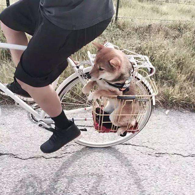 Exploring the world!⛩️ Photo by Theory of Clivetivity on Tumblr #inuclub #shiba #shibas #shibalovers #shibainu #cute #weeklyfluff #dogsofinstagram #dogscorner #dogdailyfeaturesss #inspiredbypets #beggintime #pet #buzzfeed #petbox #dog #dogs #petsagram #doglover #instagramdogs #pup #dogoftheday #dogsitting #ilovemydog #instapuppy #dogstagram #pets #puppy #adorable #puppies #Regram via @inuclub)