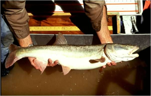 55 best images about colorado fish that you can catch on for Colorado fish species
