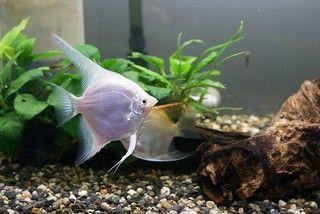 Maanvissen kweken is heel goed mogelijk, maar je moet wel weten hoe jeje aquarium moet inrichten