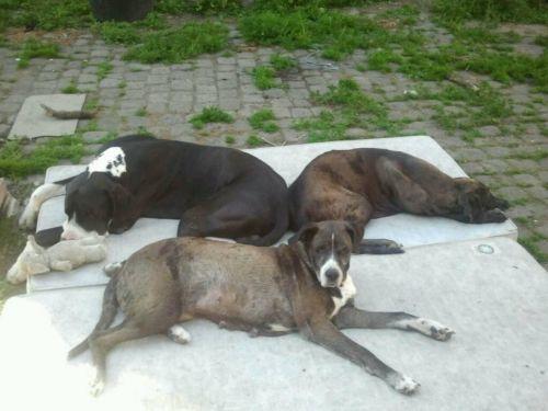 Deutsche dogge welpen ebay